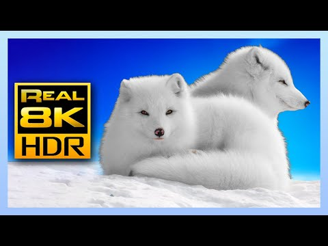 Stunning Winter Wildlife In 8K HDR 60FPS - Arctic Foxes And Wolves 🐺🦊 Relaxing Music, 8K 4K HDR