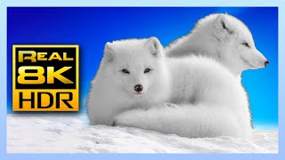 Stunning Winter Wildlife in 4K HDR 60FPS - Arctic Foxes and Wolves 🐺🦊 Relaxing Music, 8K & 4K Video