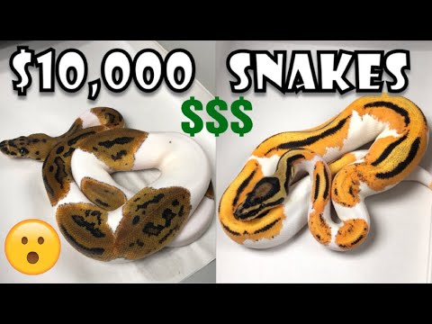 MOST EXPENSIVE SNAKE UNBOXING | BALL PYTHONS