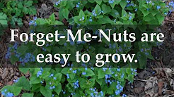 How To Grow Forget-me-nots From Seed - Home Guides - Sf ... for Dummies