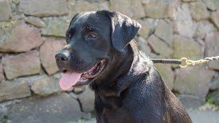 Labrador, Malinois And Dalmatian In Training Dog Collar