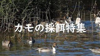 【カモの採餌特集】水面採餌と潜水採餌