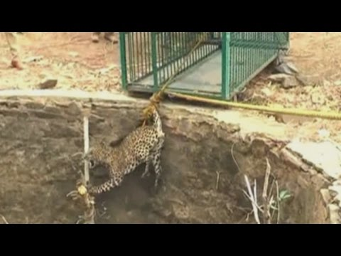 Dramatic footage: Wild leopard rescued from a well in India