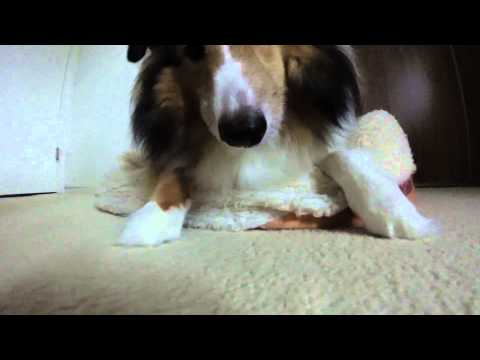 Sheltie Puppy Baby Tricks Video Before Taking Greenies Treats Part 2