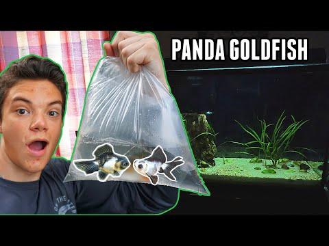 I've Always Wanted These Fish...*PANDA GOLDFISH*