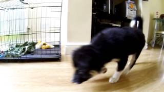 Border Collie Puppy chasing laser dot