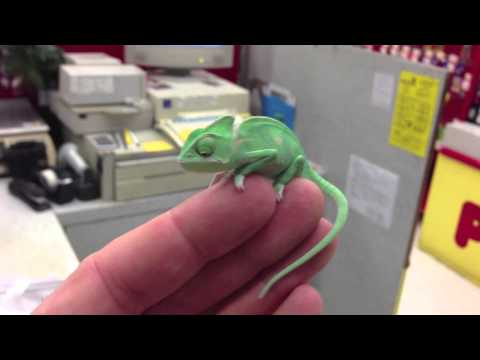 The Cutest Baby Chameleon Ever