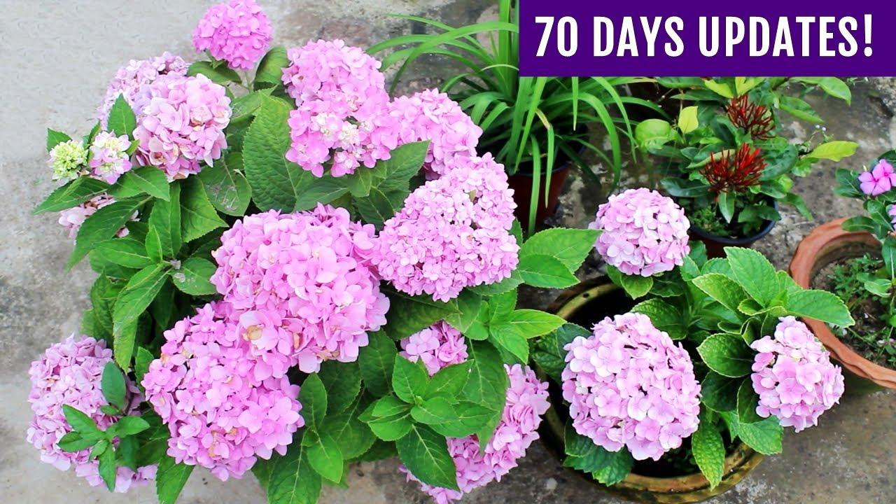 Download SECRETS To Get MAXIMUM Flowers on Hydrangea Plant