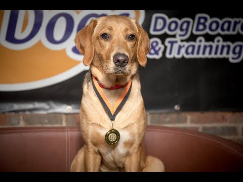 Inja - Fox Labrador x Poodle - 4 Weeks Residential Dog Training