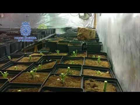 10 familiares detenidos en Málaga por 3 plantaciones indoor de marihuana