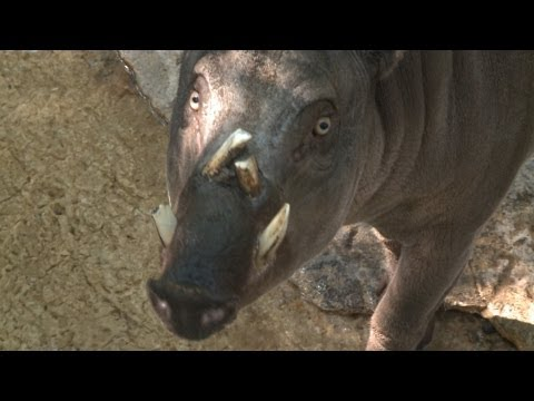 All about the Babirusa