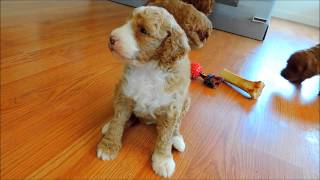 Red Australian Labradoodle Puppies