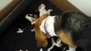 Beagle Fail - What a Runt. She is so small.
