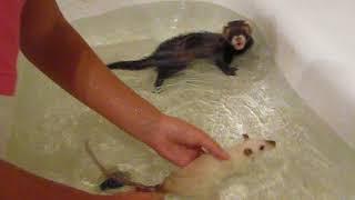 Хорек (фретка) и крыска купаются вместе! Дружат! Такое бывает!