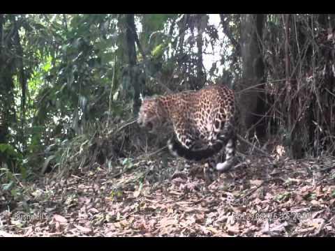 Javan Leopard the last predator of Java anton 2012