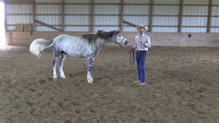 Teaching Your Horse to Work at Liberty Series | Ground Work Basics