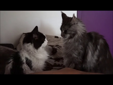 Maine Coon Cat Black Silver Hélios loves to play all time with Angel cat ‼️ мейн куна kowa