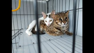documentation of the hybrid asian leopard cat mix breed with a domestic cat