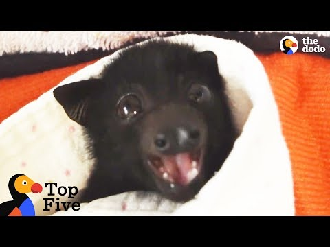 Crying Baby Bat Reunited with Mom + Other Baby Animal Rescues | The Dodo Top 5