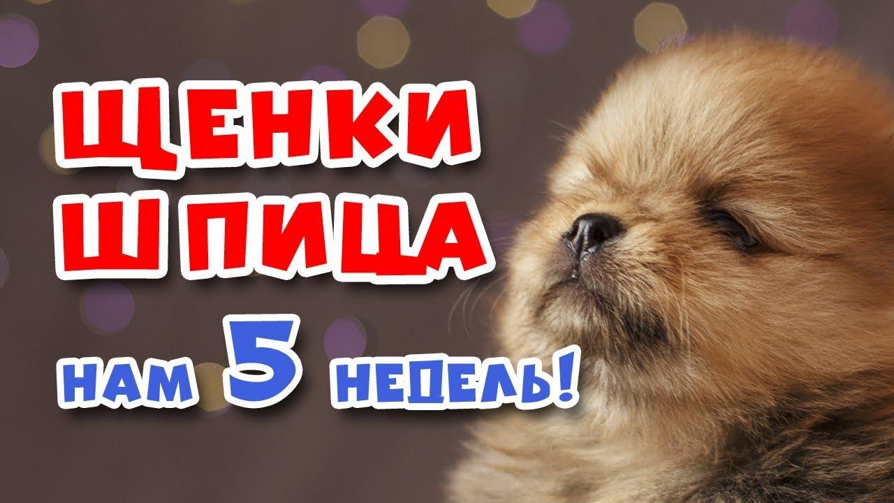 Шпиц померанский щенки в Калининграде - YouTube