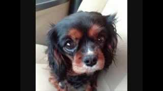 Greater Chicago Cavalier Rescue 2013 Adoptions