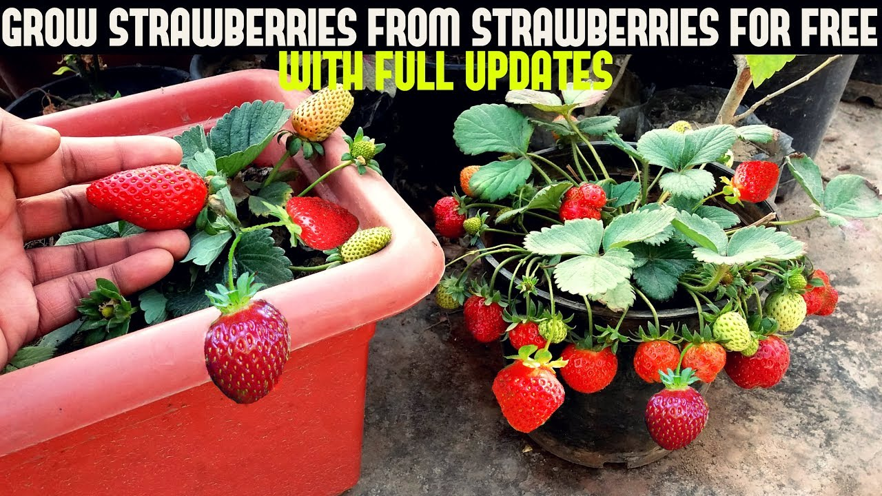 How To Grow Strawberries From Seed With Updates Youtube