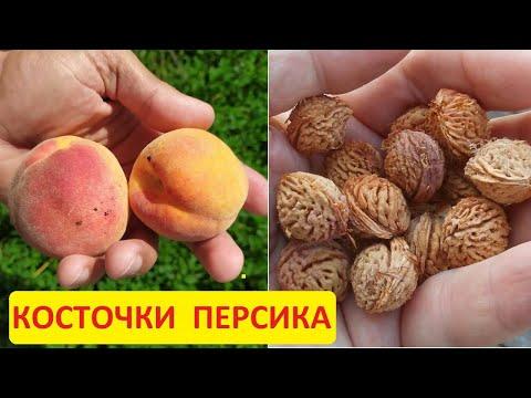 Как посадить персик из косточки. Заготовка косточек персика