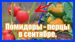 Как выращивать помидоры, перцы, огурцы в сентябре своими руками на даче