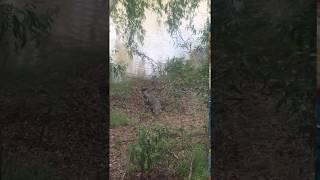 Собачка против аллигатора