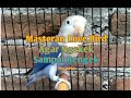Masteran Ampuh Burung Love Bird  Mp3 - Mp4 Download