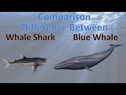 Difference between Blue whale and whale shark | whale vs shark | comparison