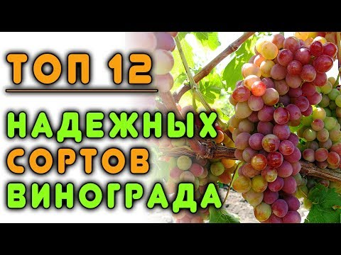 ТОП 12 надежных сортов винограда для средней полосы России