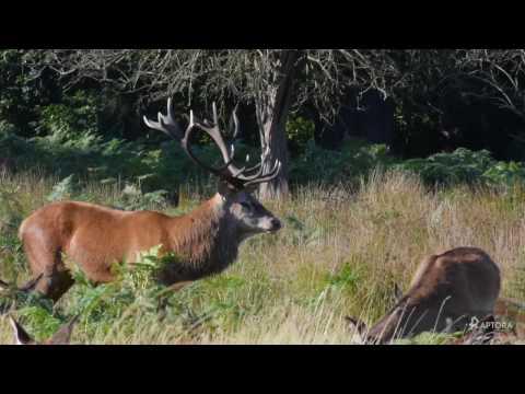 Vlogging the 2016 Deer Rut - Richmond Park