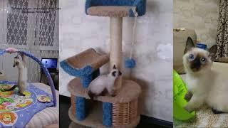 Тайский котёнок Мартин в своём новом доме! Тайские кошки   это чудо! Funny Cats