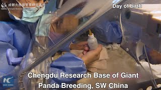 World's lightest panda cub thrives