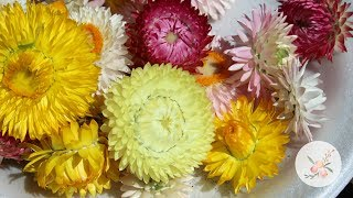 Drying Strawflower Blooms - Ornamental Cut Flower Gardening
