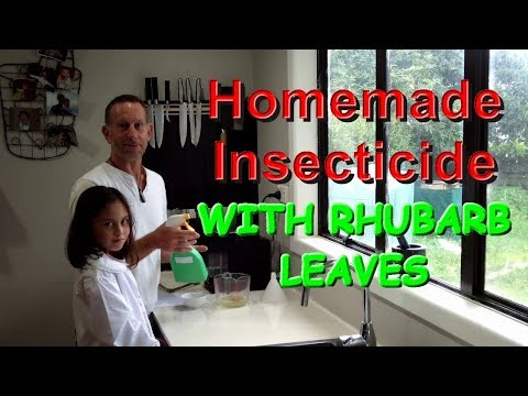 Homemade Insecticide Using Rhubarb Leaves