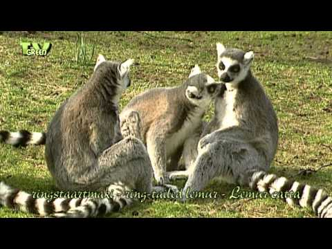 Ringstaartmaki - ring-tailed lemur - Lemur catta #07