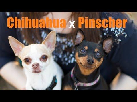 Pinscher e Chihuahua - Conheça as raças