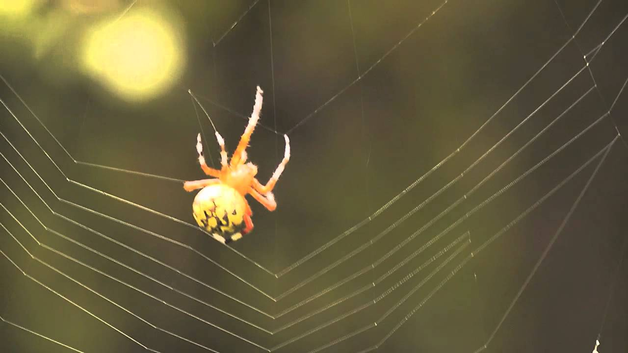 Large Yellow Spider weaves web - YouTube