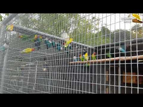 FICHER MIX COLOR LOVEBIRDS🐦🐤🐥🐦 OUTDOOR AVIARY