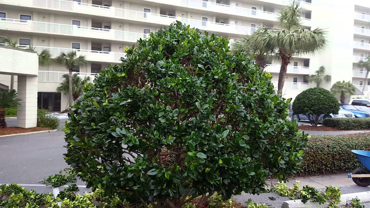 Hsg Inc Wax Leaf Ligustrum Corrective Pruning After