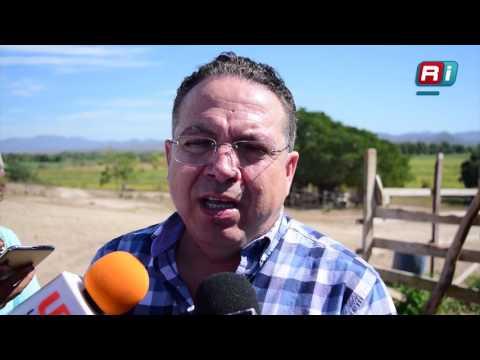 Cultivan cebolla por primera vez en Sinaloa