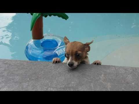 Pinto the Chihuahua swimming