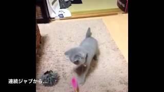 面白 モンゴリアンチョップネコの登場! 猫が天山の必殺技を. ネコパン...