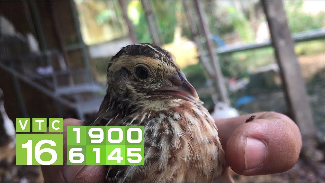 Nuôi chim cút giống: Nghề hốt bạc triệu mỗi ngày | VTC16