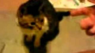 Прикольное видео Кошка падает от выстрела пальцем