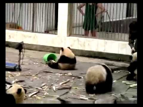 Смешные маленькие панды в зоопарке
