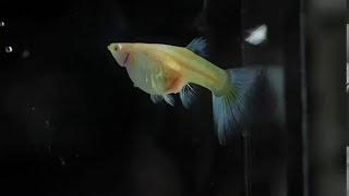 นาทีออกลูกของปลาหางนกยูง Albino Blue Tail by O-Garn Guppy เชียงใหม่