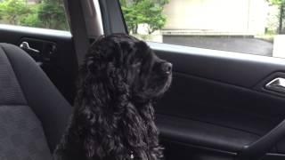 お母さんの帰りを車で待つ、コッカーのトト助です。